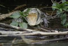 Crocodile - Monkey River, Belize