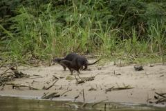 Otters - Monkey River, Belize