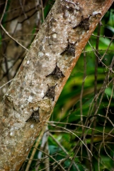 Bats - Monkey River, Belize