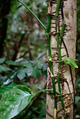 Tree with Vine - Monkey River , Belize