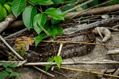 Snake - Monkey River , Belize
