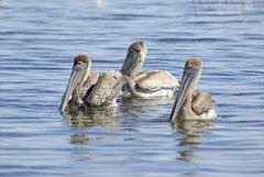 Brown Pelican, Belize