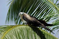 Magnificent Frigatebird - Belize