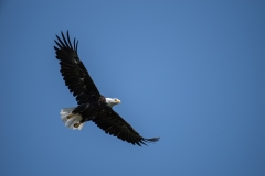 Wentzells Lake, LaHave River, NS, Bald Eagle