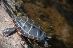 Indian Lake to Lake William's bridge, North Branch LaHave River, NS, Painted Turtle