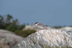 Rocksway Island, Molega Lake, NS, Common Tern