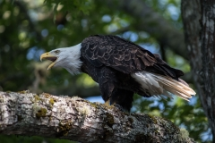 North of Wentzells Lake, LaHave River, NS, Bald Eagle