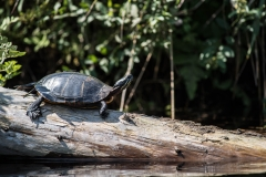 North of Wentzells Lake, LaHave River, NS, Painted Turtle