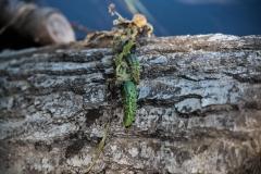 North of Wentzells Lake, LaHave River, NS, Wild Cucumber