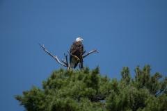 Wentzells Lake, LaHave River, NS, Bald Eagle