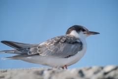 Rocksway Island, Molega Lake, NS, Common Tern