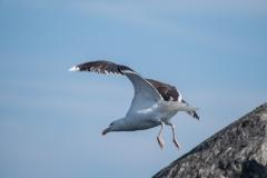 Birds at Rocksway Island, Molega Lake, NS, Great Black-backed Gull
