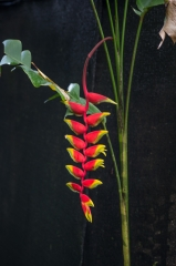 Heliconia flowers, Costa Rica