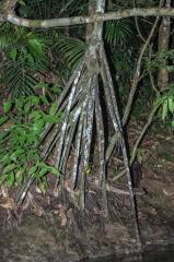 Walking Palm - Rio Escinas - Mangrove Forest, Costa Rica