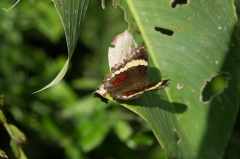 Anartia fatima butterfly, Costa Rica