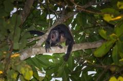 Howler Monkey, Costa Rica