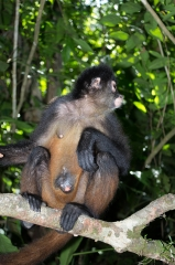 Spider Monkey (Sweety) Fundacion Santuario Silvestre de Osa, Costa Rica