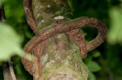 Vine tied itself around tree, Cosat Rica