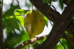 Star Fruit, Costa Rica Casa Orquedia Botanical Gardens