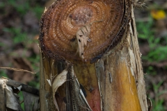 Banana Tree, dead stalk cut to create mulch for new growth, Costa Rica