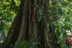 Rainforest tree with Strangler fig vine, Casa Orquedia Botanical Gardens Costa Rica