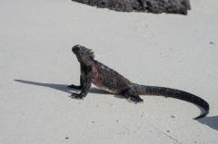 Marine Iguanas - Espanola, Galapagos Islands
