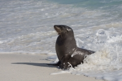 Sea Lion - Espanola, Galapagos Islands