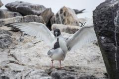 Swallow-tailed Gulls mating - Espanola, Galapagos Islands