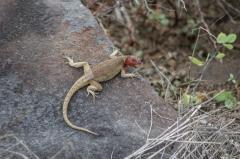 Galapagos Lava Lizard - Espanola, Galapagos Islands