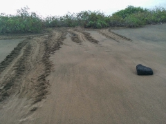 Turtle tracks for laying Eggs - Floreana, Galapagos Islands