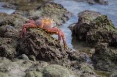 Sally Lightfoot crab - Floreana, Galapagos Islands