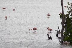 Caribbean flamingos - Floreana, Galapagos Islands