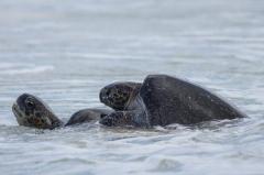Green Sea Turtle - Floreana, Galapagos Islands