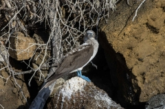 Blue-footed booby - Floreana, Galapagos Islands