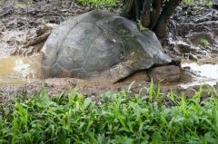 Galapagos Dome-shaped tortoise - Santa Cruz, Galapagos Islands