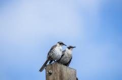 Mockingbird - Santa Cruz, Galapagos Islands