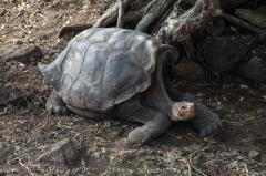 Giant saddleback tortoise - Santa Cruz, Galapagos Islands