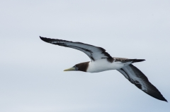 Brown Footed Booby