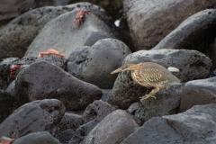 Lava Heron and Sally Lightfoot crab - Galapagos Islands, San Cristobal