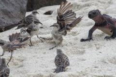 Galapagos Mockingbirds - Espanola, Galapagos Islands