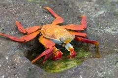 Sally Lightfoot crab - Espanola, Galapagos Islands