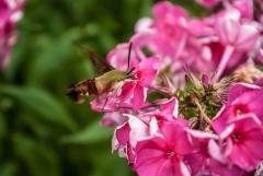 Sphinx Moth, Laskay, Ontario