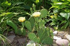 Prickly pear cactus, Laskay, Ontario