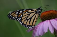Monarch Butterfly on Purple Cone Flower, Laskay, Ontario