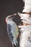 Red-bellied Woodpecker, Laskay Ontario
