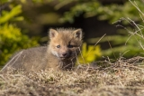 Red Fox kit, Algonquin Park