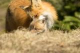 Red Fox vixen with kit, Algonquin Park