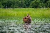 Moose (calf), Algonquin Eco-Lodge Canoe Trip