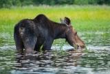 Moose (cow), Algonquin Eco-Lodge Canoe Trip