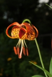 Michigan Lily, Laskay, Ontario